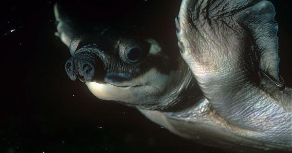 perierga.gr - Μια χελώνα... γουρουνίσια!