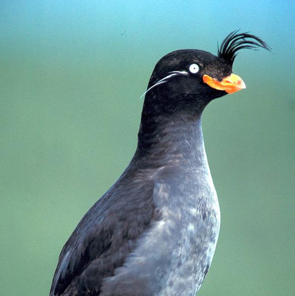 perierga.gr - Το πουλί που μυρίζει... μανταρίνι!