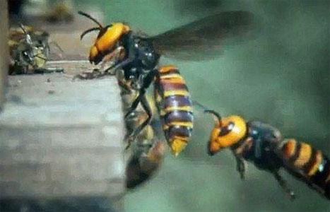 "Perierga.gr - 30 ""Σφήκες της Κολάσεως"" κατασπαράζουν 30.000 μέλισσες!"