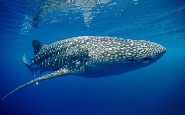 Perierga.gr - Ο κολλητός μου ο...φαλαινοκαρχαρίας