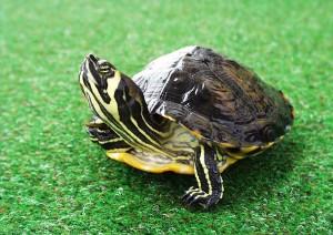 perierga.gr - Απίστευτη αλληλεγγύη μεταξύ... χελωνών!