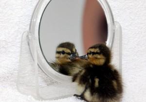 perierga.gr - Πτηνά και χάμστερ μπροστά στον καθρέφτη!