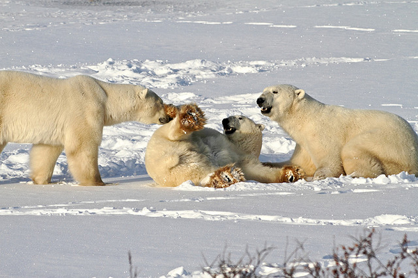 perierga.gr - Η πόλη των... πολικών αρκούδων!