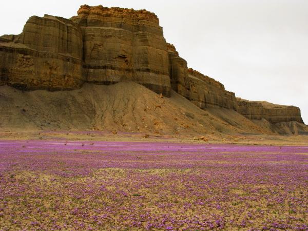 perierga.gr - Μια ανθισμένη... έρημος!
