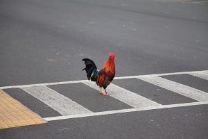 "perierga.gr - ""Γιατί το κοτόπουλο πέρασε το δρόμο;"""