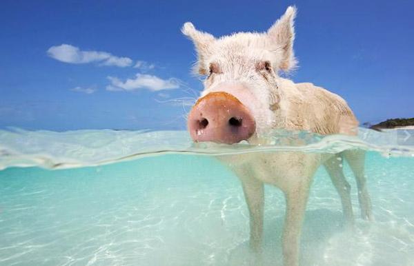 perierga.gr - Κολυμπώντας μαζί με τα... γουρούνια!