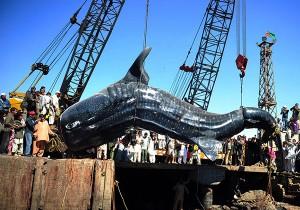 perierga.gr - Φαλαινοκαρχαρίας 7 τόνων στα δίχτυα των ψαράδων!