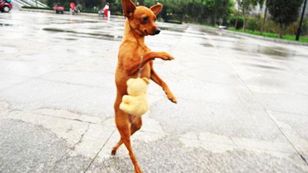 Σκυλίτσα πηγαίνει για ψώνια με την «τσάντα» της!