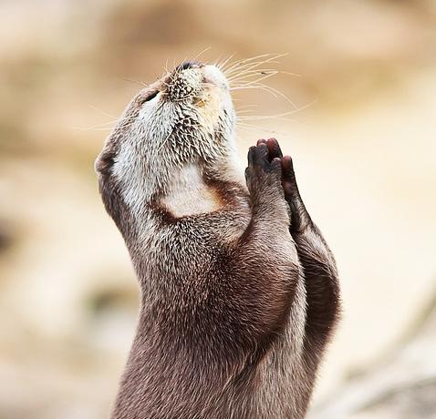 perierga.gr - Η γελαστή κουκουβάγια και οι βίδρες που προσεύχονται!