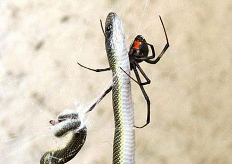 perierga.gr - Αράχνη... καταβροχδίζει ολόκληρο φίδι!