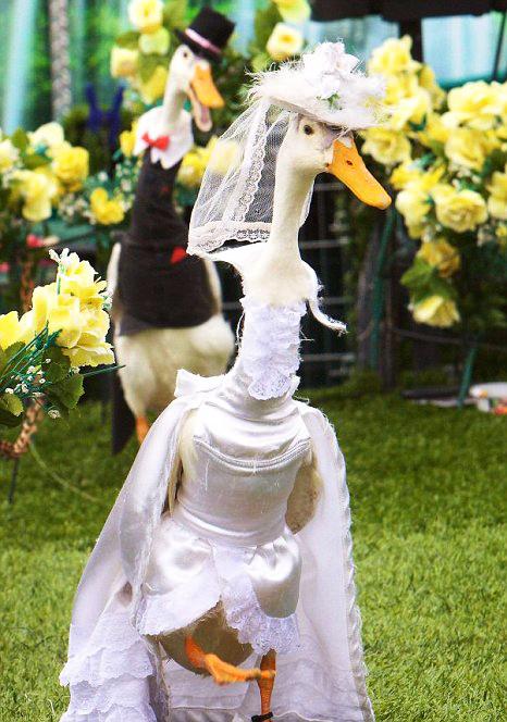 perierga.gr - Απίθανες πάπιες... super models!