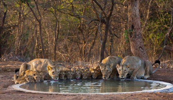Perierga.gr - Τα τελευταία ασιατικά λιοντάρια…