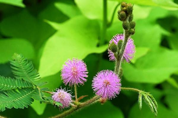 perierga.gr - Το πιο... ντροπαλό φυτό στον κόσμο!