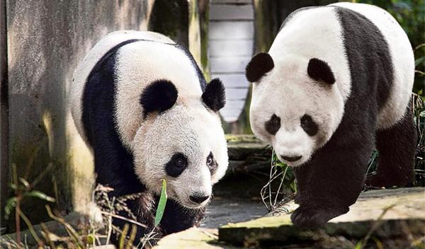 perierga.gr - Ρομαντικός έρωτας για... panda!!!