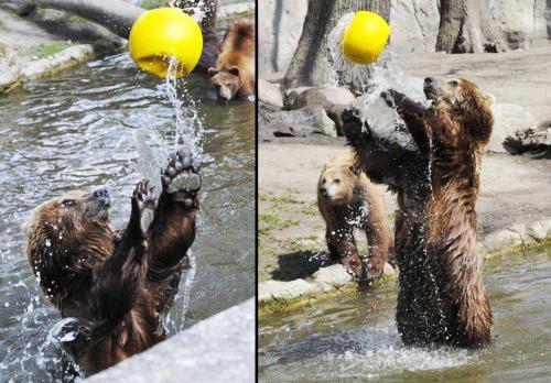 perierga.gr - Γυμναστικές επιδείξεις... αρκούδων!