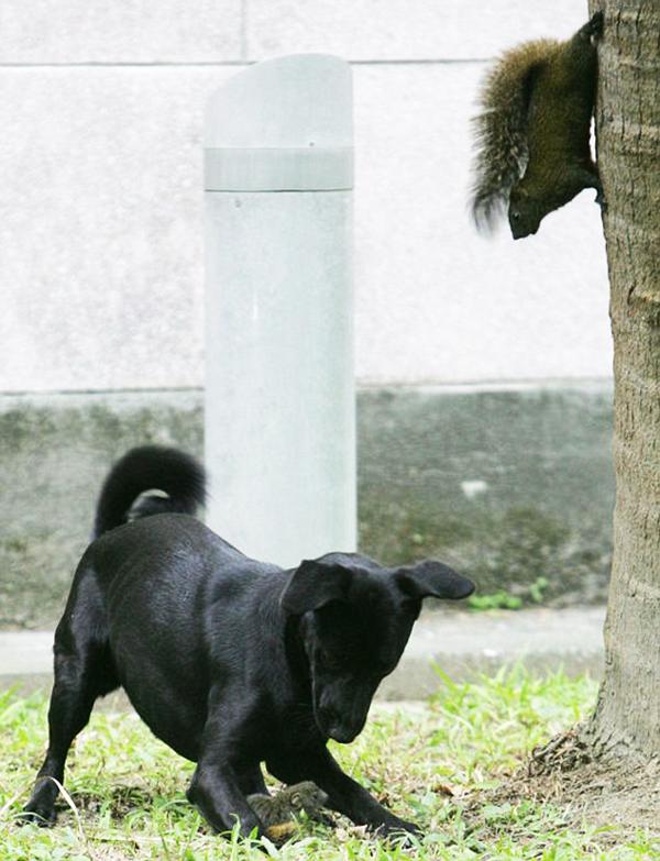 perierga.gr - Ατρόμητος σκίουρος εναντίον... σκύλου!