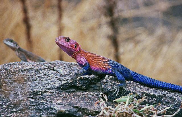 Perierga.gr - Agama Lizard