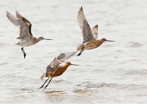 perierga.gr - Πουλί πετάει ασταμάτητα σε απόσταση ρεκόρ!