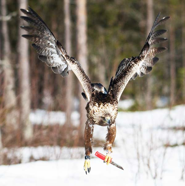 perierga.gr - Ο αετός με το μαχαίρι!!!