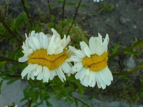 Η παράξενη ομορφιά... μεταλλαγμένων λουλουδιών