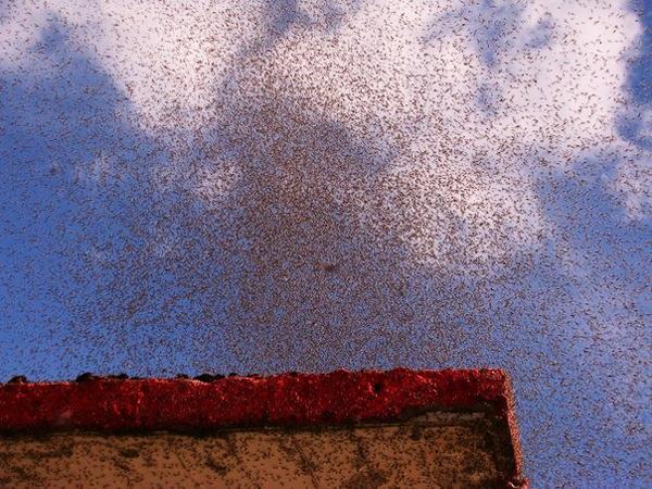 Σκοτείνιασε ο ουρανός από τα... κουνούπια!