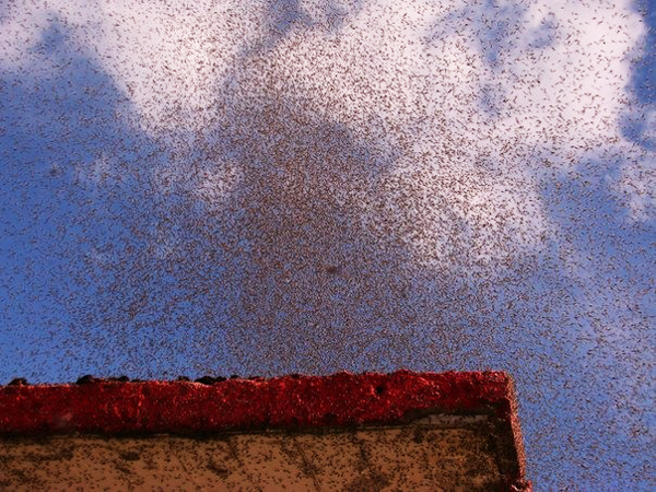 perierga.gr - Σκοτείνιασε ο ουρανός από τα... κουνούπια!