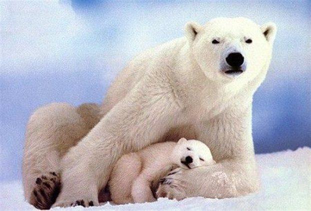Perierga.gr - Δεινοί κολυμβητές οι πολικές αρκούδες