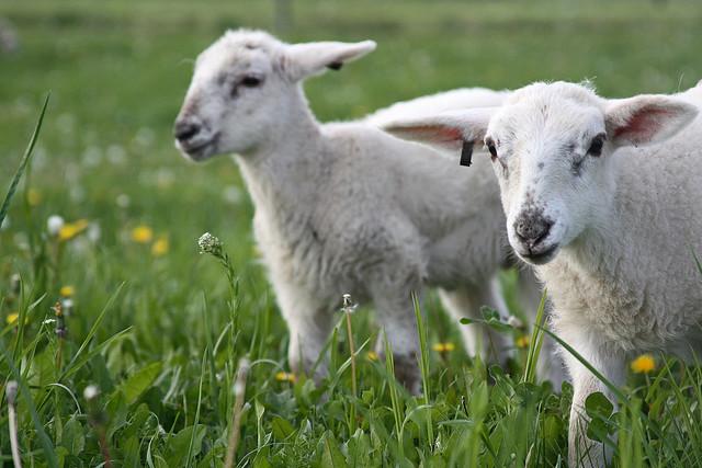 Periergta.gr - Κοπάδι πρόβατα βόσκησε... χασίς