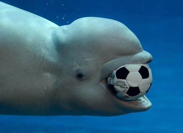 "perierga.gr - Φάλαινες ""προπονούνται"" στο ποδόσφαιρο!"