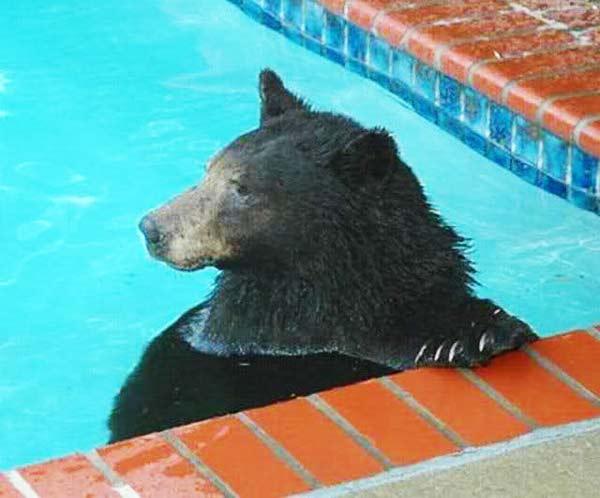 perierga.gr - Αρκούδα κολυμπάει στην πισίνα ιδιωτικής κατοικίας!
