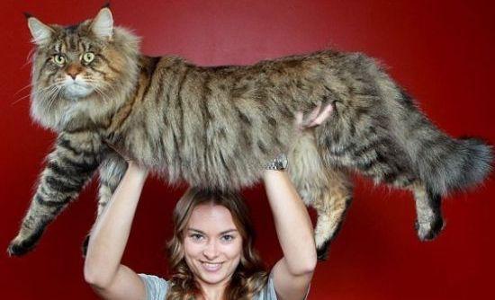 Perierga.gr - Γνωρίστε το μεγαλύτερο γάτο του κόσμου!