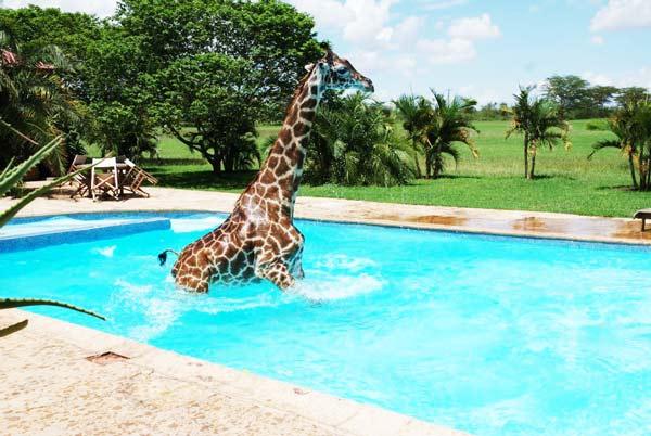perierga.gr - Καμηλοπάρδαλη βούτηξε στην πισίνα!