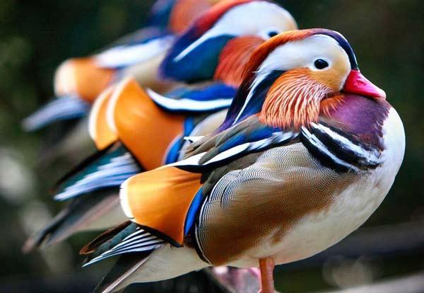 perierga.gr - Σπάνιες πολύχρωμες πάπιες... σύμβολο αγάπης!