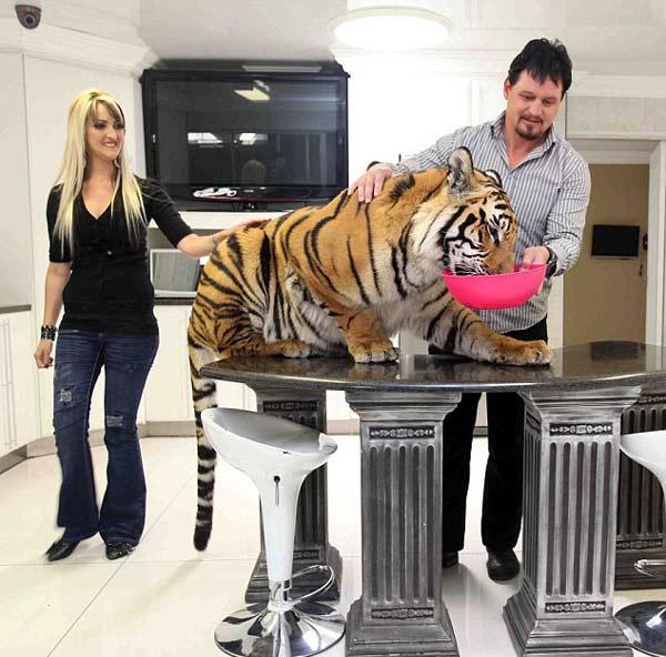 Μοιράζονται το σπίτι τους με μια τίγρη της Βεγγάλης!