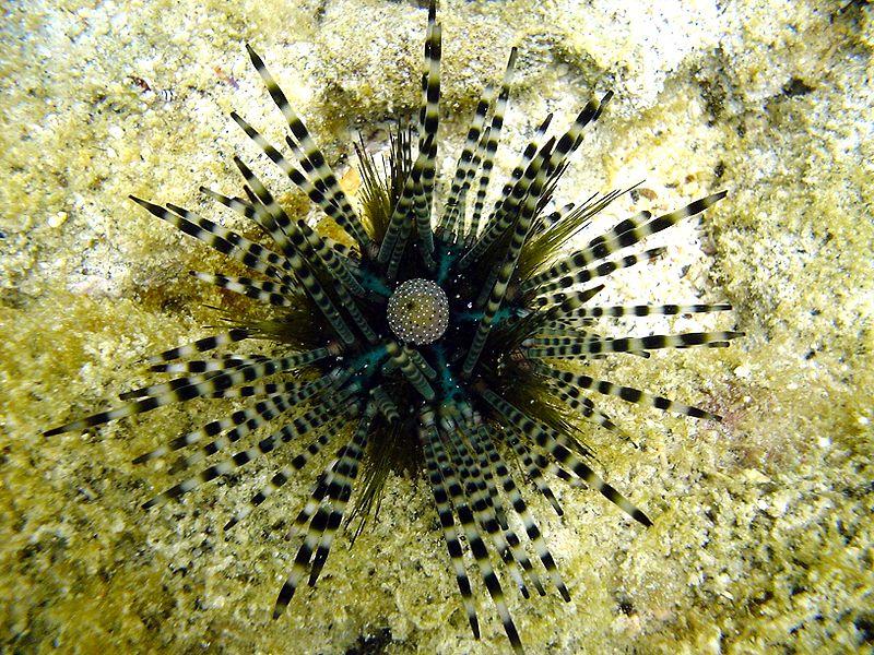 Εντυπωσιακά είδη αχινού που δεν έχετε ξαναδεί