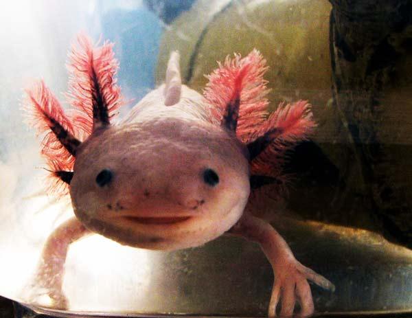 "perierga.gr - Axolotls: Ένα ""χαμογελαστό"" ψάρι!"