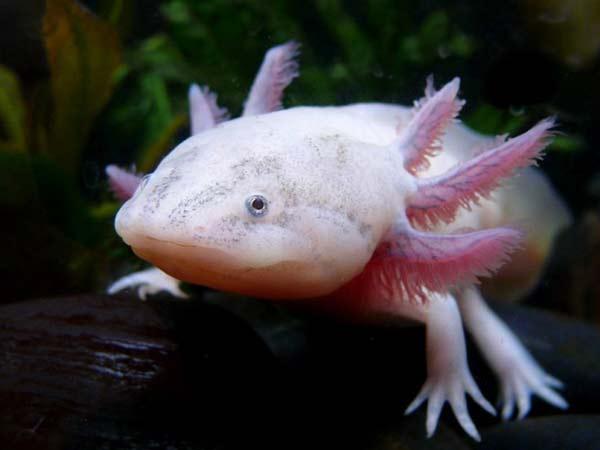 perierga.gr - Axolotls: Ένα