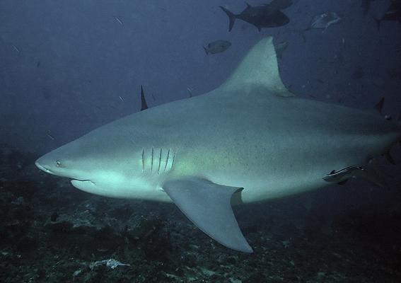 Perierga.gr - Γνωρίστε τα δέκα πιο θανατηφόρα είδη καρχαριών