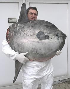 perierga.gr - Το βαρύτερο ψάρι στον κόσμο!