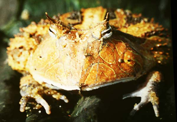 perierga.gr - Ένας παράξενος βάτραχος... pacman!