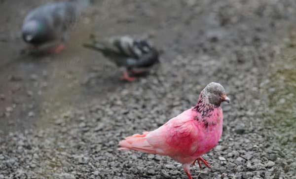 """perierga.gr - """"Εξωτικό"""" ροζ περιστέρι κλέβει τα βλέμματα!"""