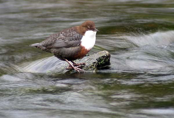 """perierga.gr - Dipper: Το πουλί που """"πετάει"""" κάτω από το νερό!"""