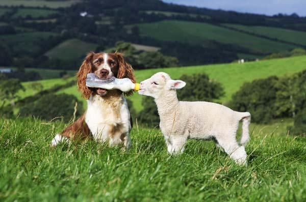 perierga.gr - Όταν ο σκύλος... φυλάει τα πρόβατα!