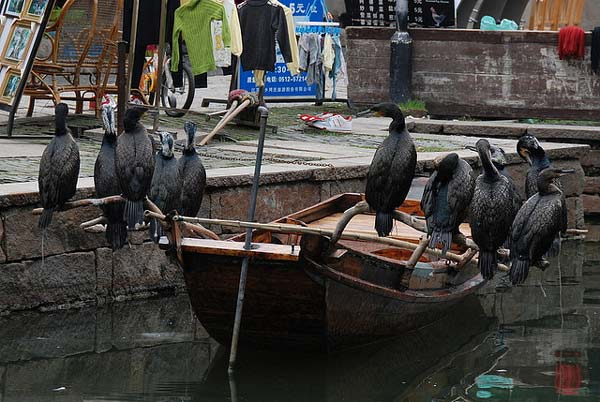 "perierga.gr - Κορμοράνοι: Οι καλύτεροι ""βοηθοί των ψαράδων""!"