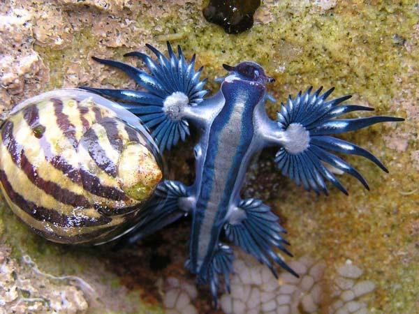 perierga.gr- Glaucus atlanticus: Ένα θαλάσσιο μαλάκιο... κόσμημα!