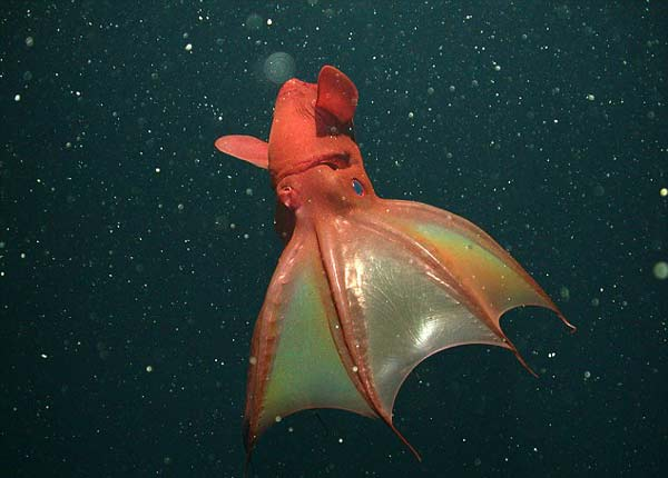 """""""Καλαμάρι βαμπίρ"""": Ένα από τα μυστήρια πλάσματα του ωκεανού!"""