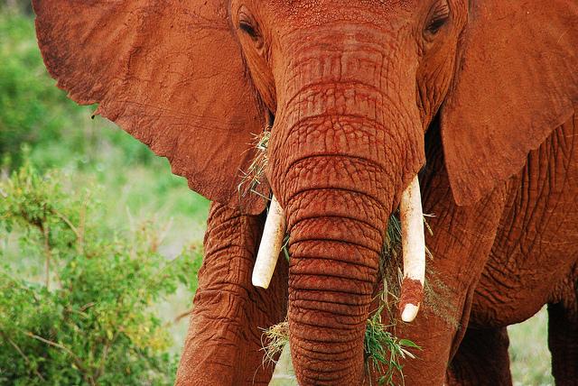 Perierga.gr - Κόκκινοι ελέφαντες