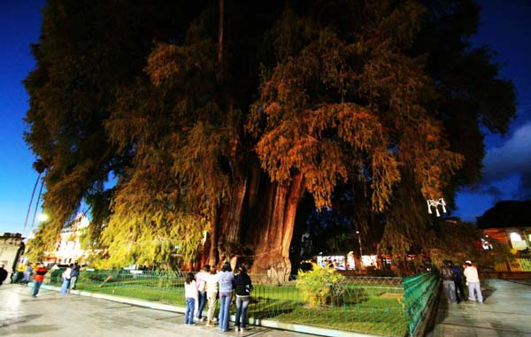 perierga.gr - Arbol del Tule: Το διασημότερο... δέντρο στον κόσμο!