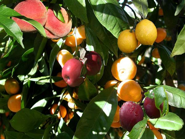 Parakseno.gr : dentrosalad1 Ένα δέντρο… φρουτοσαλάτα!