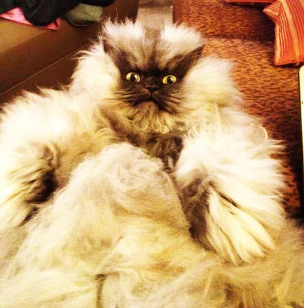 """perierga.gr - Η πιο """"οργισμένη"""" γάτα στον κόσμο!"""